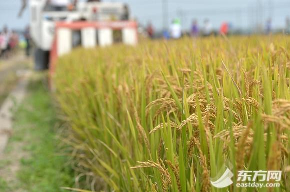 日本越光水稻,生长过程中所使用的肥料来自大团镇海