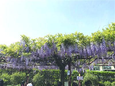气温回升视频绽放本周末嘉定紫藤园或迎首个lol紫藤第一视角图片