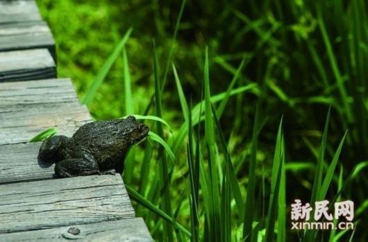 图说:蛙稻米中的青蛙正准备跳入稻田.李铭珅 摄-阅读上海100胜 练