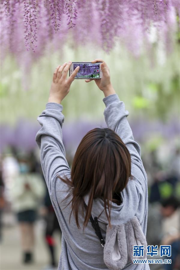 (新華視界)(1)上海:紫藤花開