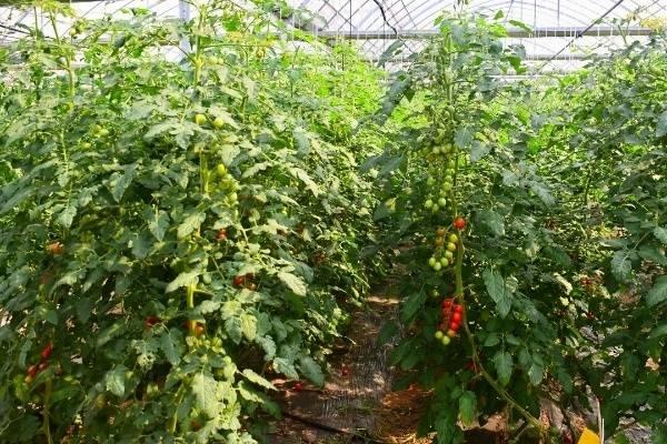 """全区蔬菜绿色认证率超过90% 崇明农产品缘何成市民餐桌上的""""香饽饽""""?"""