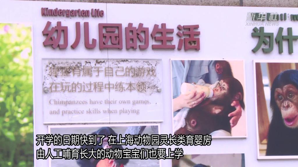 """上海动物园的猩猩""""黑妞""""上学记"""