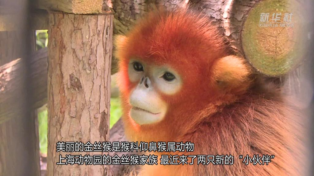 """上海动物园:金丝猴做""""亲缘鉴定"""""""