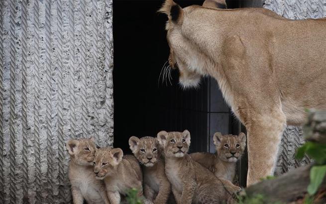 5只小狮子与游人见面
