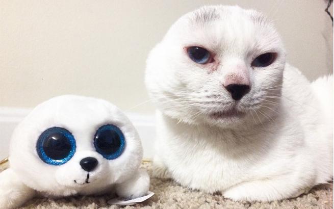 网红小猫蓝眼无耳 跟玩具海豹撞脸惹人爱