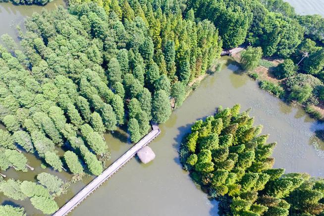 航拍澳门永利网上娱乐青西郊野公园 60亩水上森林池杉奇观