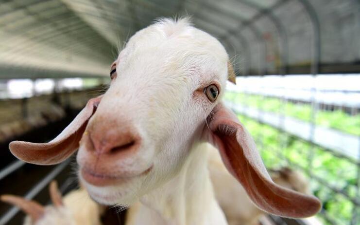 """江苏海安:养羊业转型升级催生""""现代羊倌"""""""