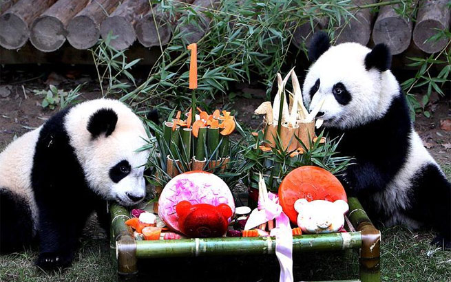 上海大熊猫龙凤胎周岁庆生