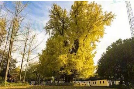 秋季赏树攻略 上海这些大树要给你颜色看了!