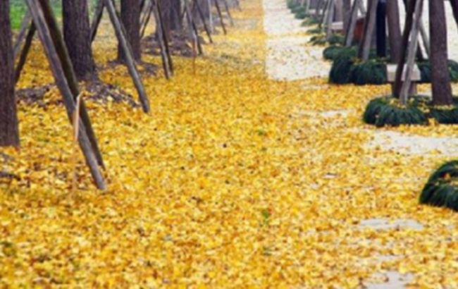 一树黄蝶满地黄金 世纪公园银杏大道金光灿灿
