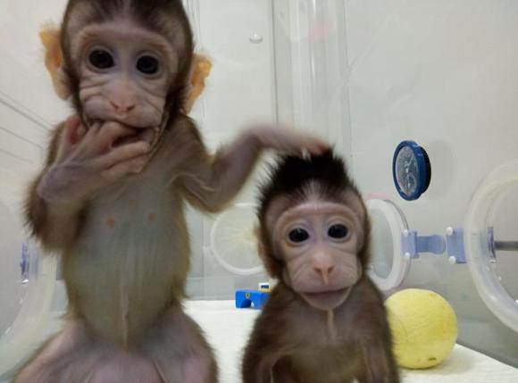 """世界首个体细胞克隆猴在上海诞生 名字叫""""中中"""""""