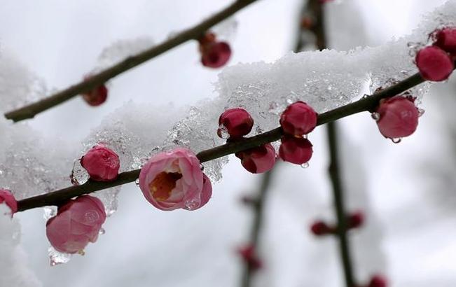 东莞:踏雪赏梅