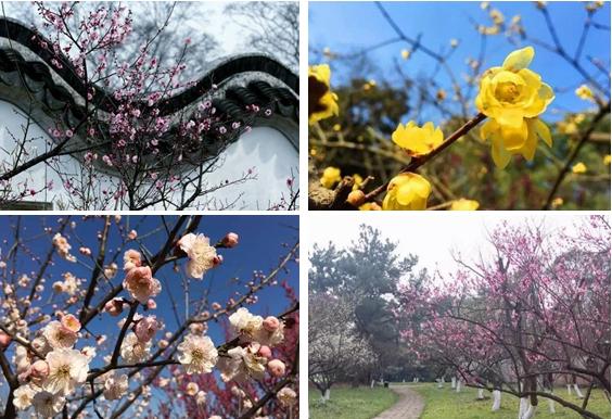 国内最大梅花展本周来沪 还有哪些赏梅好去处?