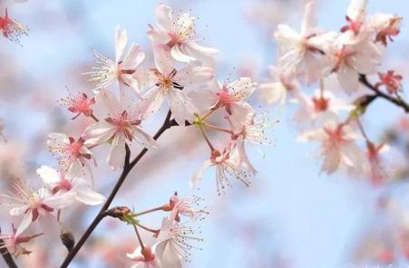 """辰山植物园800米 """"粉色樱花隧道""""上拍客如潮"""
