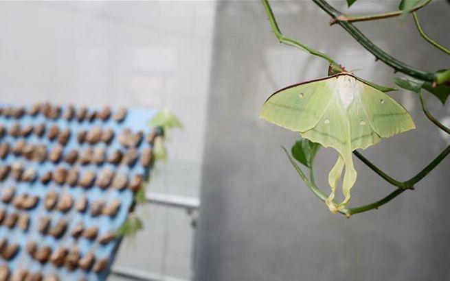 自然博物馆里观赏绿尾大蚕蛾