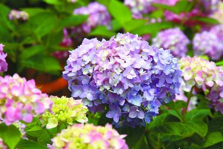 共青森林公园将举办八仙花展 展示近50个品种