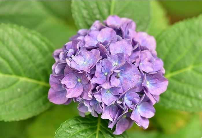 近万余株50多个品种 共青森林公园八仙花进入最佳赏花期