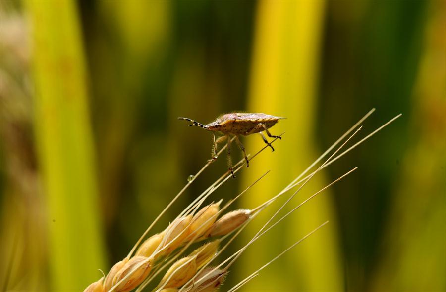 稻田深处草虫鸣