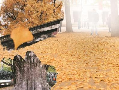 最美银杏季 别错过嘉定安亭镇树龄1200岁的银杏王