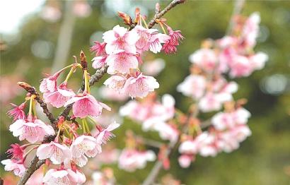 申城早樱提前绽放 温暖气候雨水滋润是主因