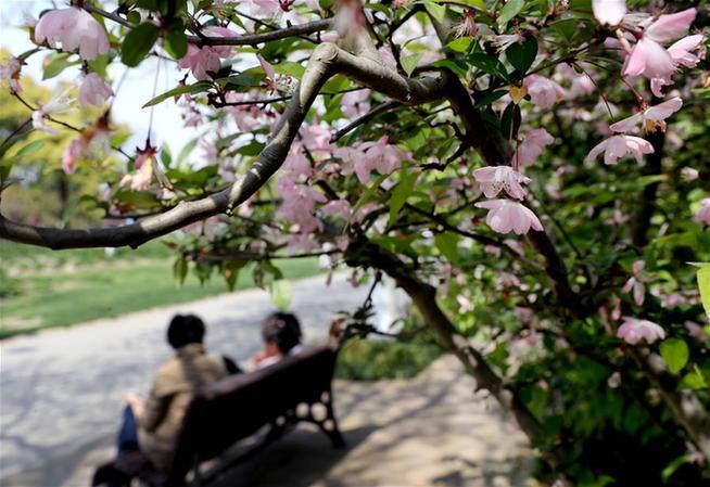 上海:春光明媚 海棠花开