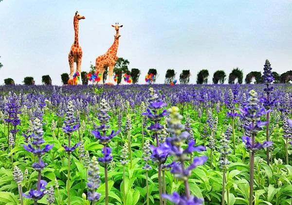 流连上海|寻梦环游薰衣草节