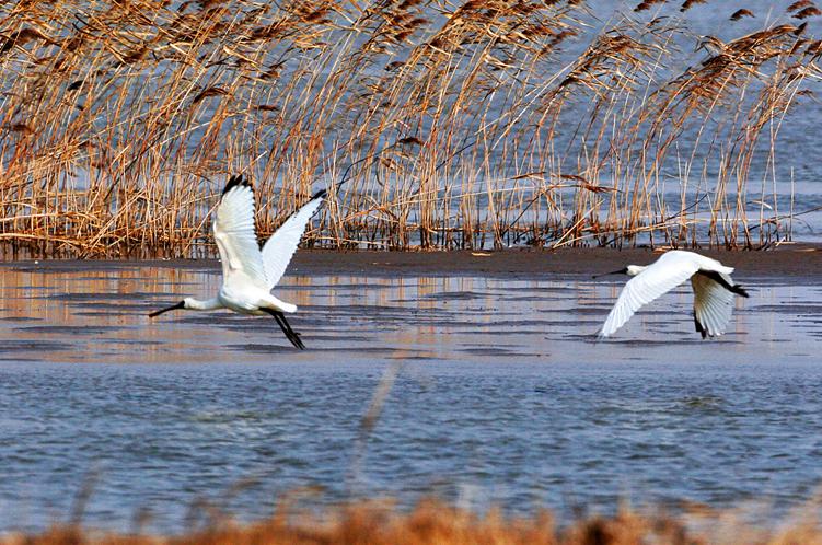 东滩湿地黑脸琵鹭