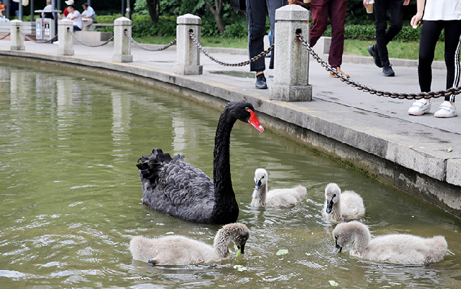 徐家汇公园的天鹅宝宝 大都市里的小精灵