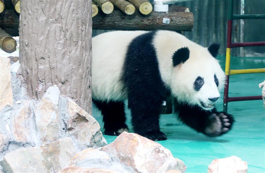 """大熊猫""""风光兄弟""""光临上海"""