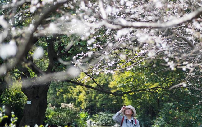 樱花开了 上海植物园十月樱别具风韵