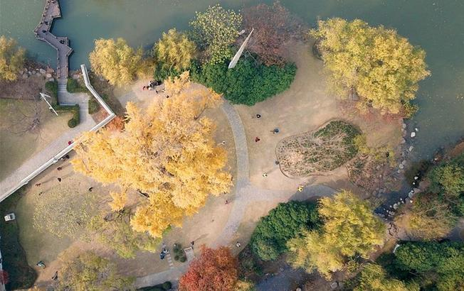上海:千年银杏盛装迎冬