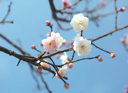"""早梅臘梅""""雙梅爭春"""" 春節期間將迎最佳觀賞期"""
