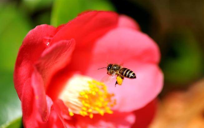 春光明媚蜜蜂忙