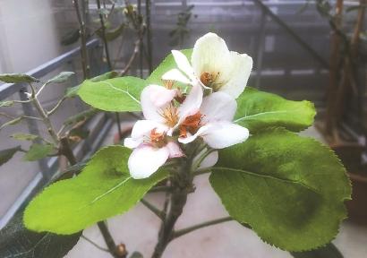 """""""牛顿苹果树""""在上海开花了"""