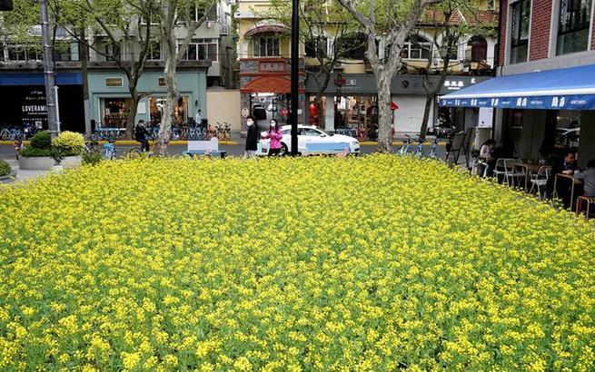 油菜花开都市 街角邂逅春天