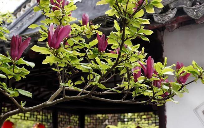 上海:古典园林春意浓