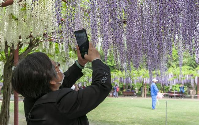 上海:紫藤花開