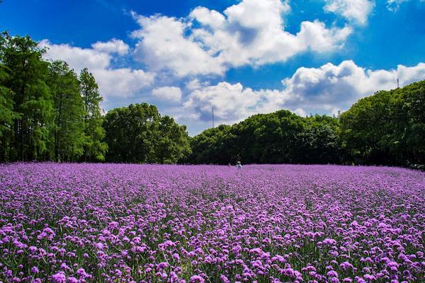 共青森林公园这片紫色的柳叶马鞭草花海美翻了