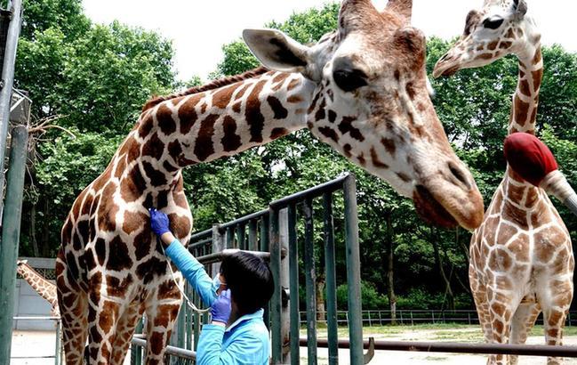 """上海动物园:给动物""""体检"""""""