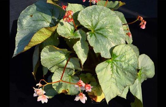 辰山植物园自主培育秋海棠新品种获国际登录
