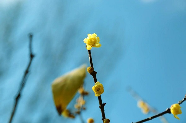 凌寒独放送幽香 上海植物园今年首朵蜡梅绽放