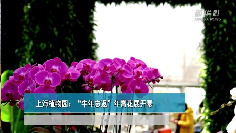 """上海植物园:""""牛年忘返""""年霄花展开幕"""