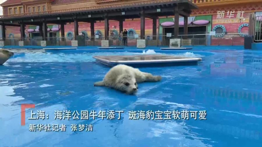 上海:海洋公园牛年添丁 斑海豹宝宝软萌可爱
