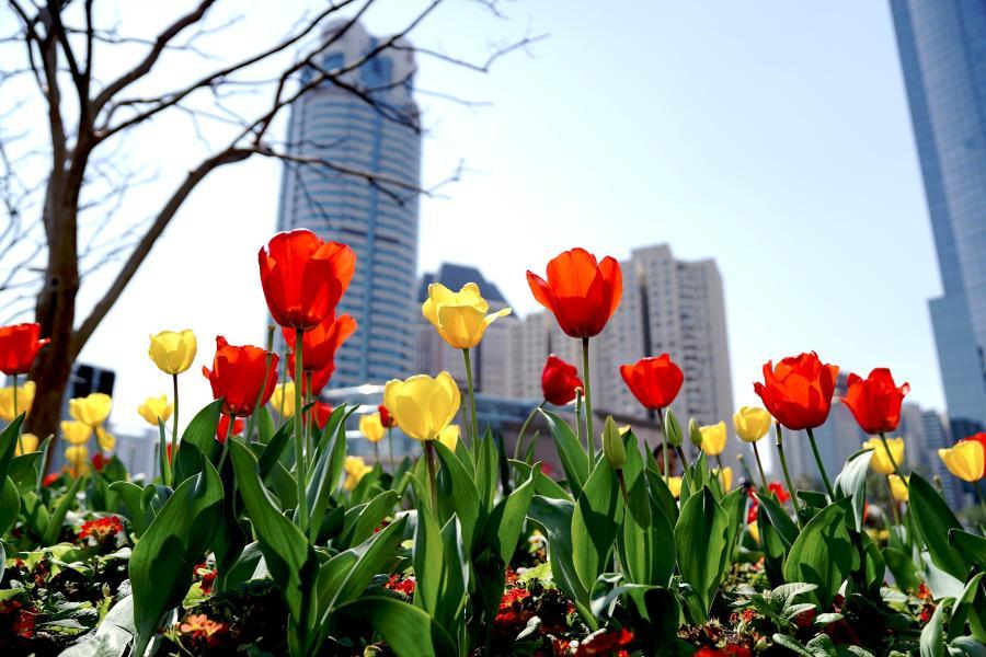 上海:郁金香扮靓街头