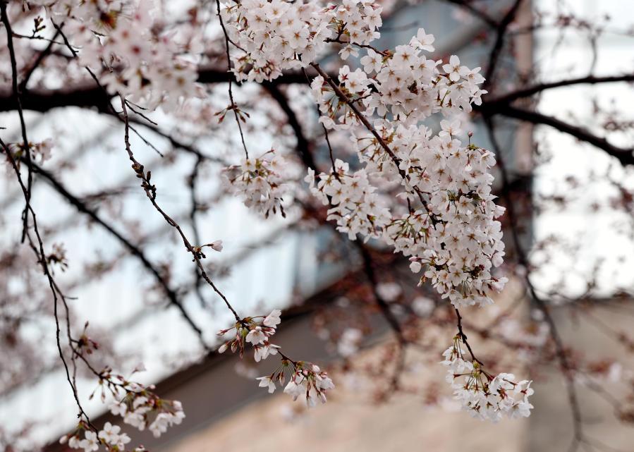 上海:樱花绽放陆家嘴