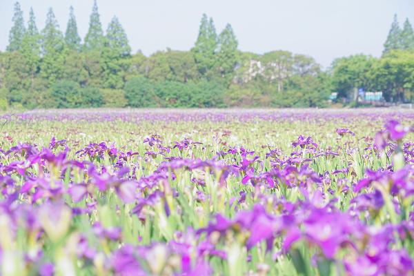 3天逾10万!长兴岛郊野公园迎客流高峰