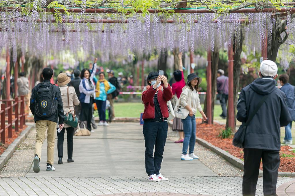 上海:紫藤花开引游人